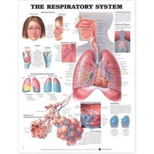 Respiratory System Anatomical Chart