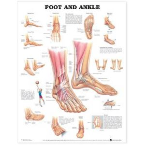 "Foot and Ankle Anatomical Chart,Laminated 20""x26"""